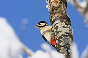 Major Framed Prints - Great Spotted Woodpecker Picoides Major Framed Print by Konrad Wothe