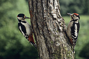 Feeding Birds Prints - Great Spotted Woodpeckers Feeding Print by David Aubrey