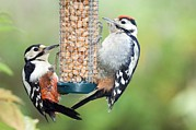 Feeding Birds Prints - Great Spotted Woodpeckers Feeding Print by Duncan Shaw