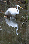 Pond Photos - Great White Egret and Reflection by Suzanne Gaff