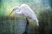 Concentrating Posters - Great White Egret Poster by Bonnie Barry