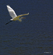 Rock Creek Lake Prints - Great White Egret Print by Brian Wallace