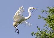 Great White Egret Building A Nest Print by Paulette  Thomas