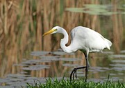 White River Posters - Great White Egret by the River Poster by Sabrina L Ryan