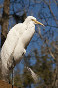 Carolyn Marshall Posters - Great White Egret Poster by Carolyn Marshall