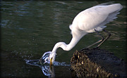 Pictures Photo Originals - Great White Egret Gotcha by John Wright