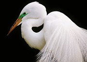 Great White Egret In Breeding Plumage Print by Thomas Photography  Thomas
