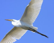 Egrets Framed Prints - Great White Egret In Flight . 40D6850 Framed Print by Wingsdomain Art and Photography