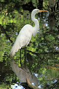 Natural Habitat Posters - Great White Egret in Spring Poster by Suzanne Gaff