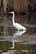 Metro Park Metal Prints - Great White Egret Metal Print by James Marvin Phelps