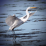 Shore Bird Originals - Great White Egret by Joseph G Holland