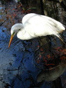 Corkscrew Art Prints - Great White Egret Print by Juergen Roth