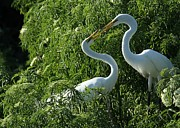 Amour Photos - Great White Egret Lovers by Sabrina L Ryan