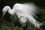 Great White Egret Mates Print by Thomas Photography  Thomas