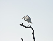 Sitting Photos - Great White Egret by Nancybelle Gonzaga Villarroya