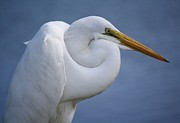 Great White Egret Print by Thomas Photography