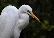 Egret Art - Great White Egret Portrait by Sabrina L Ryan
