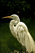 Waterfowl Framed Prints - Great White Egret Pose Framed Print by Bill Tiepelman