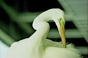 Sheila Price - Great White Egret Pose...