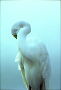 Sheila Price - Great White Egret Pose IV