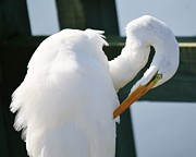 Great White Egret Preening Print by Paulette  Thomas