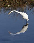 Grace Photos - Great White Egret by Rudy Umans