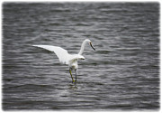 Waterbirds Framed Prints - Great White Egret  Framed Print by Saija  Lehtonen