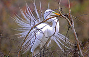 TJ Baccari - Great White Egret