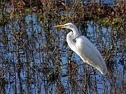 Great White Egret Print by Wingsdomain Art and Photography