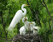 Great White Egret With Babies Print by Paulette  Thomas