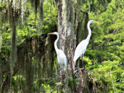 Whit Prints - Great White Egrets Print by Marilyn Holkham
