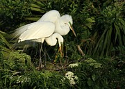Sabrina L Ryan - Great White Egrets Nesting