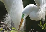 TJ Baccari - Great White Egrets