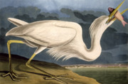 Sea Drawings Posters - Great White Heron Poster by John James Audubon
