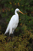Fotografie Prints - Great White Heron near Everglades NP  Print by Juergen Roth