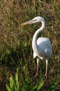 Morph Prints - Great White Heron Print by Rodney Cammauf