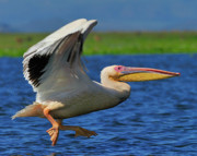 Tony Photos - Great White Pelican by Tony Beck
