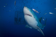 White Shark Prints - Great White Shark And Pilot Fish Print by Todd Winner