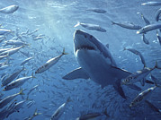 Animal Behavior Photos - Great White Shark Carcharodon by Mike Parry