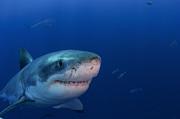 Sharks Photo Posters - Great White Shark, Guadalupe Island Poster by Todd Winner