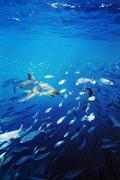 Neptune Islands Framed Prints - Great White Shark Hunting In A Large Framed Print by James Forte