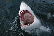 Attacking Metal Prints - Great White Shark Jaws Metal Print by Mike Parry