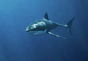 Swimming Metal Prints - Great White Shark Metal Print by John White Photos