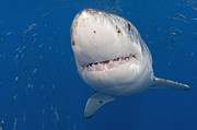 Frightening Posters - Great White Shark Poster by Michael P ONeill and Photo Researchers