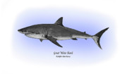 Shark Drawings - Great White Shark by Ralph Martens