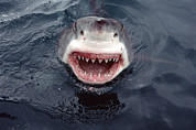 Great White Death Photos - Great White Shark Smile Australia by Mike Parry