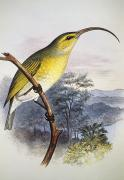 Yellow Beak Painting Metal Prints - Greater Akialoa Metal Print by Hawaiian Legacy Archive - Printscapes