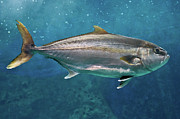Swimming Animal Prints - Greater Amberjack Print by Stavros Markopoulos