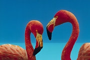 Greater Flamingos Posters - Greater Flamingo Courting Pair Poster by Tim Fitzharris