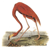 Shorebird Paintings - Greater Flamingo by John James Audubon